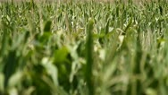 Cornfield swaying in the wind Stock Footage