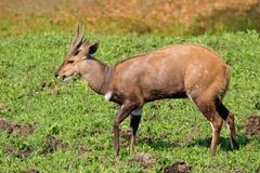Bushbuck antelope Stock Photos