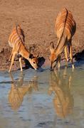Nyala antelopes drinking water - stock photo
