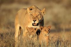 Lioness with cubs - stock photo