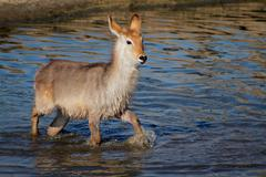Young waterbuck in water - stock photo