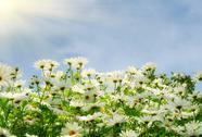 Nice summer meadow with comomiles over blue sky Stock Photos