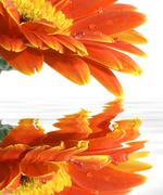 gerbera daisy with reflections - stock photo