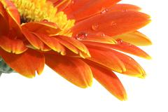 gerbera daisy with a water drops - stock photo