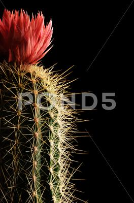 Stock photo of flowering cactus