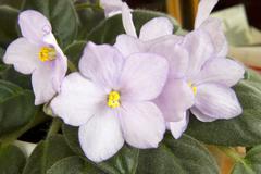 Violets. - stock photo