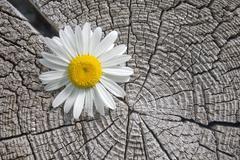 White flower on a background of an old tree. Stock Photos