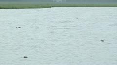 Alligators, 6 Alligators floating in North Florida Lake Stock Footage