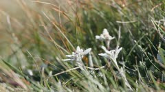Edelweiss flowers under the alpine wind Stock Footage