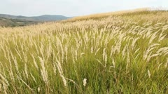 Tall grass waving in the summer breeze - stock footage