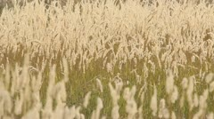 Grass waving in the summer wind - stock footage
