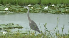Birds, Great Blue Heron stalks left stops moves again Stock Footage