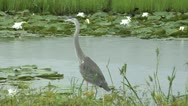 Stock Video Footage of Great Blue Heron stalks left stops moves again