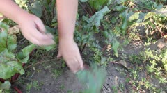 Hands take beet out of land Stock Footage