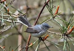 gnatcatcher2 - stock photo