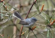 Gnatcatcher2 Stock Photos