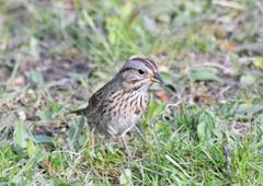 lincoln`s sparrow - stock photo