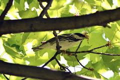 blackpoll warbler2 - stock photo