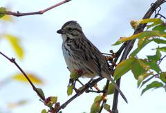 Song sparrow Stock Photos