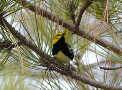 black-throated green warbler2 - stock photo