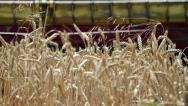 Wheat harvest detail Stock Footage