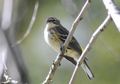 yellow-rumped warbler4 - stock photo
