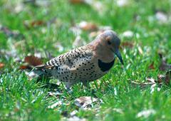 northern flicker - stock photo