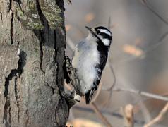 downy woodpecker - stock photo
