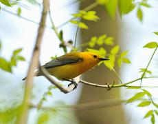 Prothonotary warbler male3 Stock Photos