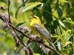 blue-winged warbler3 - stock photo