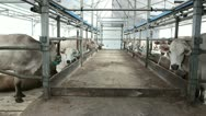Cow in Cowshed 3 Stock Footage