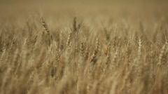 Girl walking through a wheat field, alberta canada Stock Footage