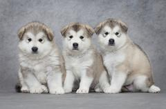 portrait of three malamute puppies - stock photo