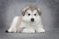 alaskan malamute puppy - stock photo