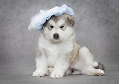 Portrait of malamute puppy Stock Photos