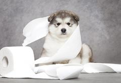 malamute puppy with a tissue - stock photo
