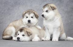 three malamute puppies - stock photo