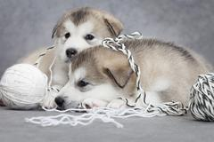 two malamute puppies with a clew - stock photo