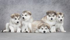 alaskan malamute puppies - stock photo