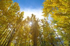 Fall aspen trees Stock Photos