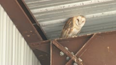 Barn Owl - stock footage