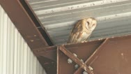 Stock Video Footage of Barn Owl