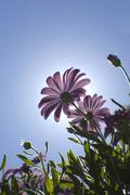 gerber daisy flower backlit against sun in a clear sky - stock photo