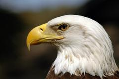 Endangered bald eagle bird of prey national bird Stock Photos