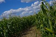 Stock Photo of A Beautiful Corn Crop Field