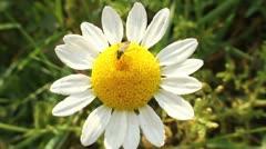 Bug on flower Stock Footage