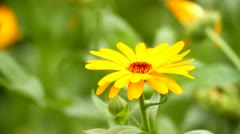 Marigold close-up Stock Footage