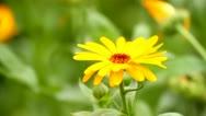Marigold close-up Stock Footage
