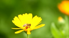 Bee on yellow flower Stock Footage