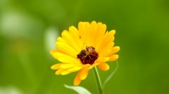 Bee on marigold, yellow flower Stock Footage